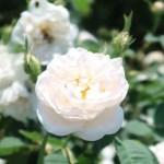 Species Cross/ Rosa alba maxima ロサアルバ マキシマ 花の姿
