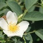 Wild rose/ Rugosa rose ハマナス 花の様子 白花