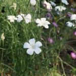 Corn cockle/ ムギセンノウ 花の咲いている様子 白花
