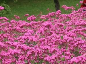 Sweet William catchfly/ ムシトリナデシコ コマチソウ 花の咲いている様子