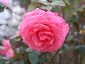 Modern garden rose/ Aromatherapy  アロマテラピー 花の姿