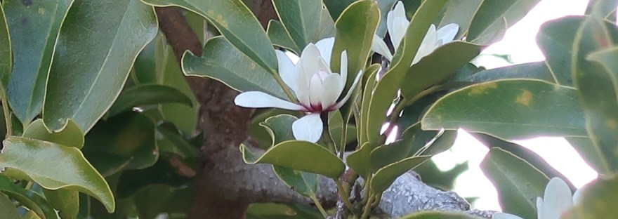 Michelia/ オガタマノキ