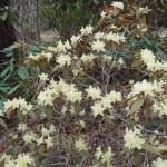 ヒカゲツツジ 花の咲いている様子