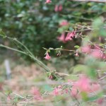 Lonicera gracilipes/ ウグイスカグラ 花の咲いている様子