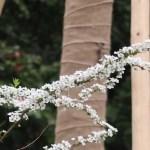Spiraea thunbergii/ ユキヤナギ 花の様子