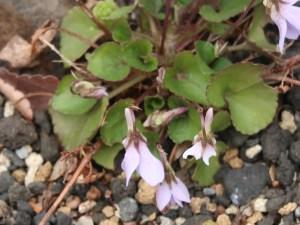 Viola grypoceras var. hichitoana シチトウスミレ 花の姿