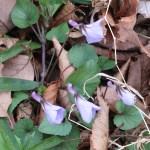 Viola grypoceras タチツボスミレ 花の咲いている様子