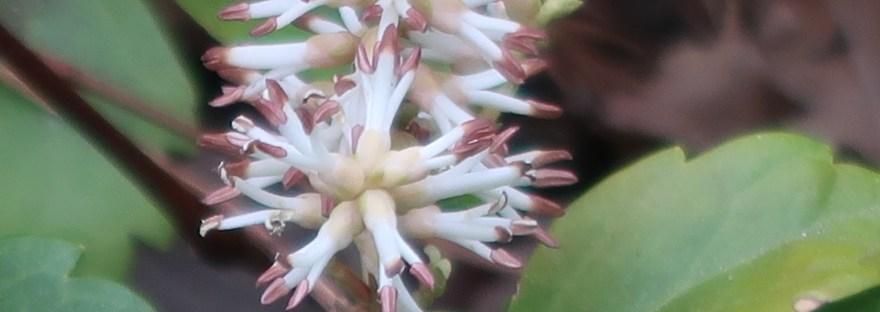 Japanese spurge/ フッキソウ 花の姿