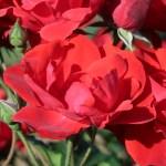 Modern garden rose/ Andalusien アンダルシアン 花の姿