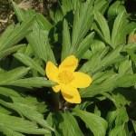 Yellow anemone/ キバナイチゲ 花の様子