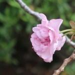 Charry var. Kanzan / カンザン セキヤマ 関山 咲き始め花の様子