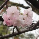 Cherry var. Fukurokujyu/ フクロクジュ 花の姿