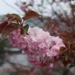 Charry var. Kanzan / カンザン セキヤマ 関山 花の様子