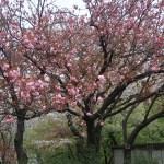 Charry var. Kanzan / カンザン セキヤマ 関山 咲いている花の様子