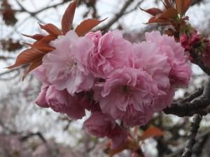Charry var. Kanzan / カンザン セキヤマ  関山 花の姿