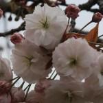 Cherry var. Fugenzou/ フゲンゾウ 花の様子