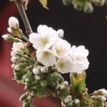 Sweet cherry セイヨウミザクラ 花の様子