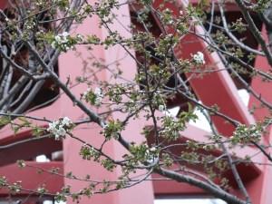 Sweet cherry セイヨウミザクラ 花の咲いている様子