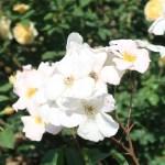 Sally Holmes サリー・ホームズ 花の様子
