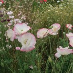 Iceland poppy/ アイスランドポピー 花の咲いている様子