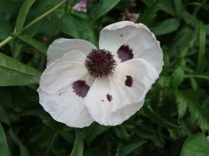 Oriental poppy/ オニゲシ 花の姿