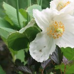 Blue poppy/ メコノプシスグランディス 白花の様子