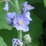 Blue poppy/ メコノプシスグランディス 花の咲いている様子