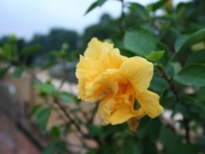 Chinese hibiscus/ ハイビスカス ブッソウゲ 黄色い八重の花