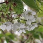 Cherry var. Usuzumi/ ウスズミ 花の様子