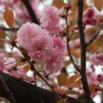 Cherry var. Kanzan 関山 花の様子