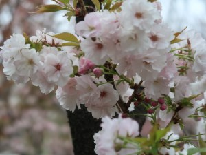 Cherry var Wasemiyako/ ワセミヤコ 花の様子