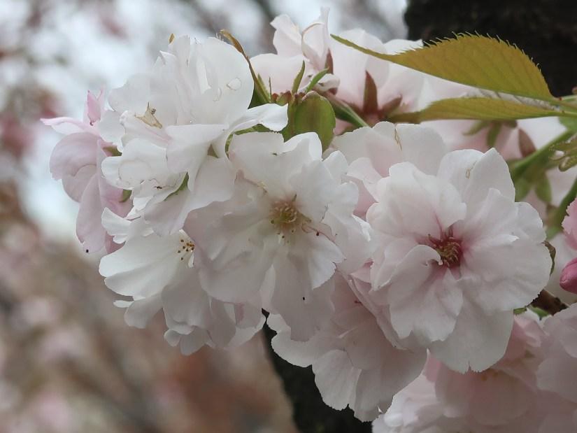 Cherry var Wasemiyako/ ワセミヤコ