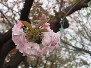 Cherry var. Manoga マノガ 花の姿