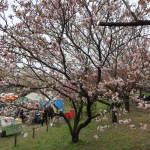 Cherry var. Manoga マノガ 花の咲いている木の様子