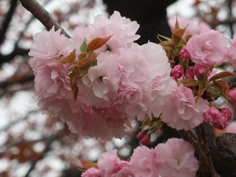 Cherry var. Edo エド 江戸系