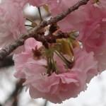 Cherry var. Edo エド 江戸系 花の姿