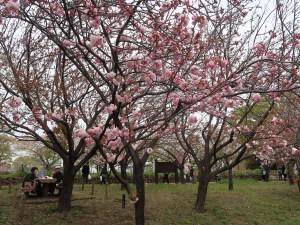 Cherry var. Edo エド 江戸系 花の咲いている様子