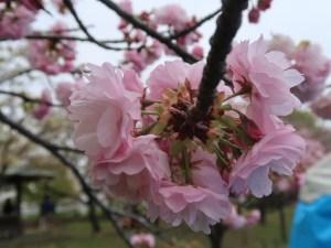Cherry var. Itokukuri イトククリ 花の姿