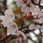 Cherry var. 'Arashiyama' アラシヤマ 花の咲いている様子