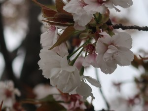 Cherry var. Gozanomanioi ゴザノマニオイ 花の様子