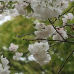 Cherry var. Chirotae/ シロタエ 花の様子