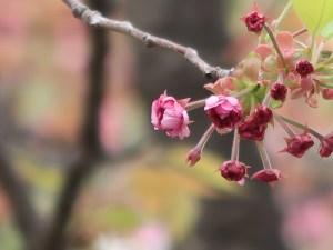 Cherry var. Hiyodorizakura ヒヨドリザクラ 花の様子 蕾