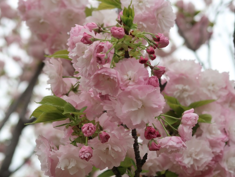 Cherry var. Higurashi ヒグラシ