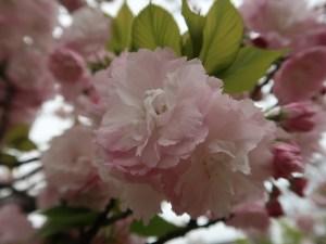 Cherry var. Higurashi ヒグラシ 花の姿