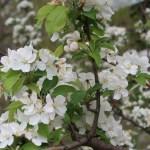 Chinese crabapple/ ヒメリンゴ 花の咲いている様子
