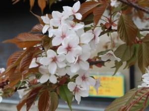 Cherry var. Kouhokunioi/ コウホクニオイ 花の様子