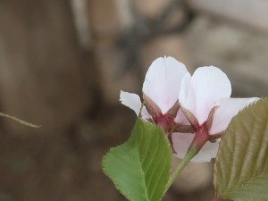 Cherry var. Kouhokunioi/ コウホクニオイ 花の姿 後姿