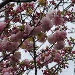 Cherry var. Temari テマリ 花の咲いている様子