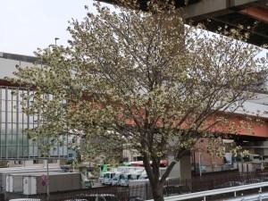 Cherry var. Ukon/ ウコン 花の咲いている木の様子