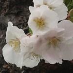 Cherry var. Usuzumi/ ウスズミ 花の姿